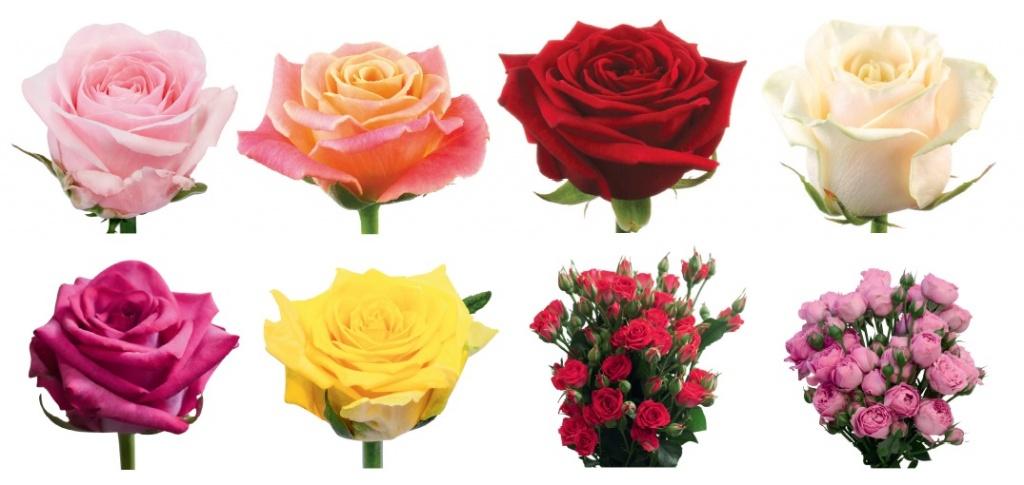 каталог сортов роз с картинками флористика самая дорогая сегодняшний